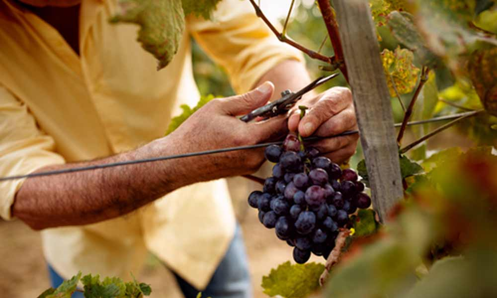cutting-grapes